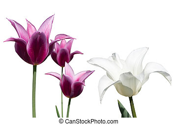 tulipes, fond blanc, violet