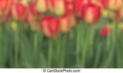 tulipes, foyer, venir