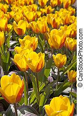 tulipes, hollandais, champ, ampoule