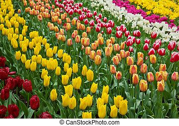 tulipes, hollande, champ