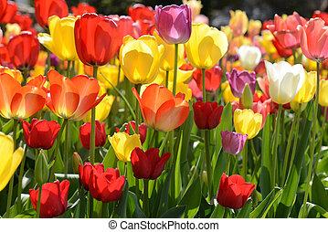 tulipes, jardin