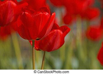 tulipes, jardin, rouges