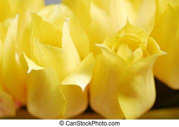 tulipes, jaune, 18
