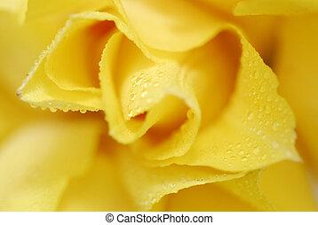 tulipes, jaune, 6