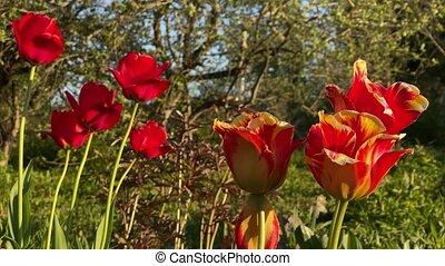 tulipes, mouvement, rouges, vent, 4k, vidéo