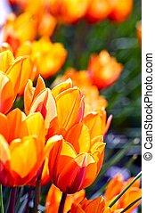 tulipes, orange-red