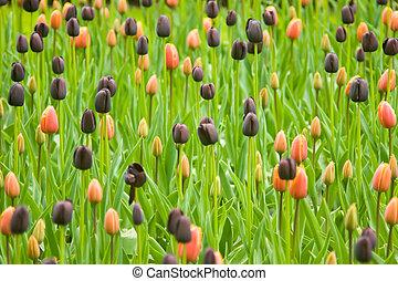 tulipes, parc, keukenhof, coloré, hollandais
