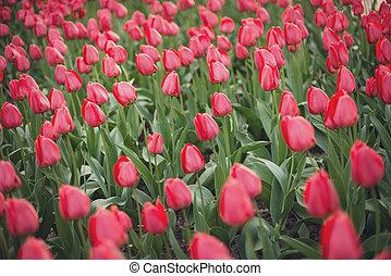 tulipes, parc, rouges