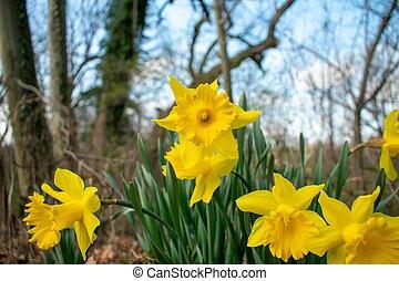 tulipes, pendant, pièce, jaune, printemps, fleurir