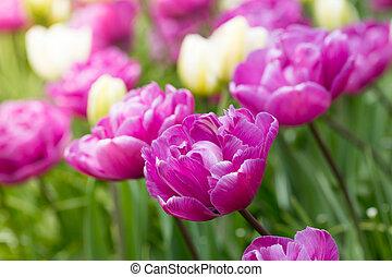 tulipes, photo, champ, macro