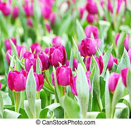 tulipes, pourpre