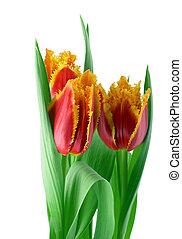 tulipes, printemps