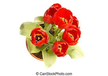 tulipes, rouges, au-dessus, vue