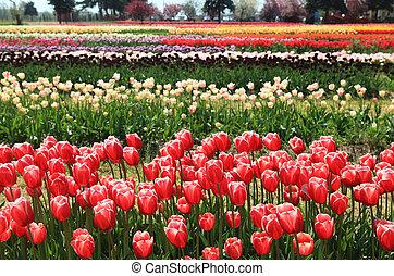 tulipes, rouges, champ