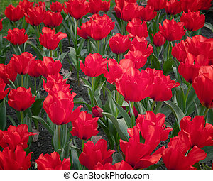 tulipes, rouges, champ