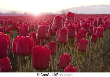 tulipes, rouges, levers de soleil