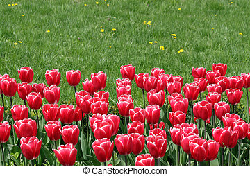 tulipes, rouges