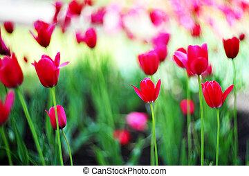 tulipes, rouges