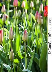 tulipes, rouges, printemps