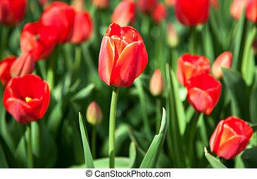 tulipes, rouges, printemps, premier