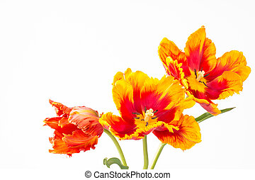 tulipes, two-toned, trois, perroquet