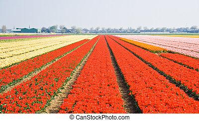 Tulipfields in springtime