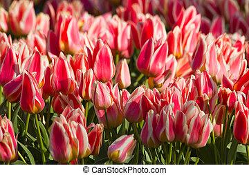 tulips, белый, красный, весна