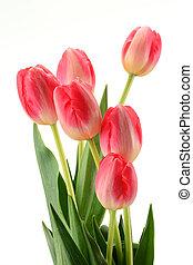 tulips, белый, isolated