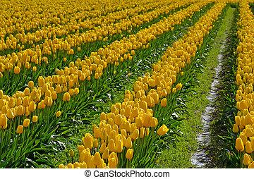 tulips, весна, желтый, поле