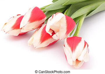 tulips, весна