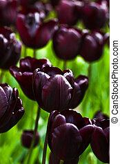 tulips, весна, сад, темно, бургундия, красный