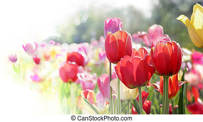 tulips, в, цветение