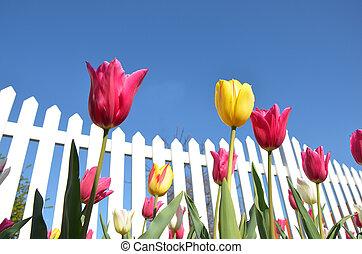 tulips, забор