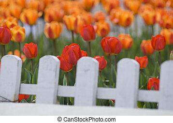 tulips, за, красочный, белый, забор