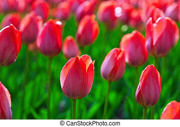tulips, красный, весна