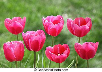 tulips, красный