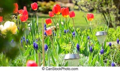 tulips, красный, swaying