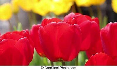 tulips, крупным планом, красный