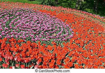 tulips, поле, красочный, весна