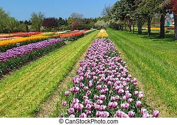 tulips, поле