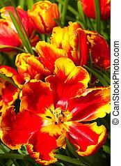 tulips, попугай