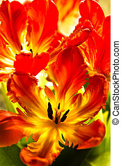 tulips, попугай, backlight