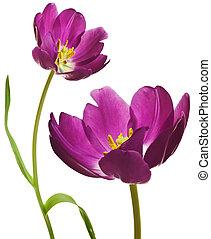 tulips, пурпурный, весна