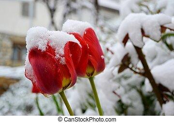 tulips, снег, красный, covered
