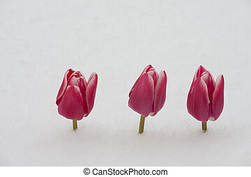 tulips, снег