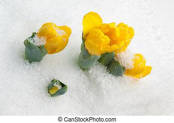 tulips, холодно