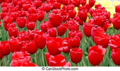 tulips, цветение, красный