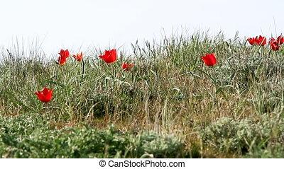 tulips, цветение, пустыня, красочный