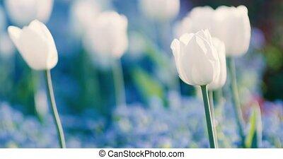 tulips, цветы, весна