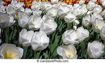 tulips., パラダイス